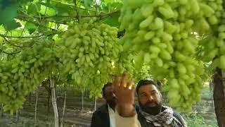 Grapes variety RK thumbnail
