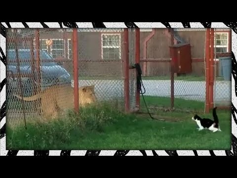 Brave housecat challenges LION