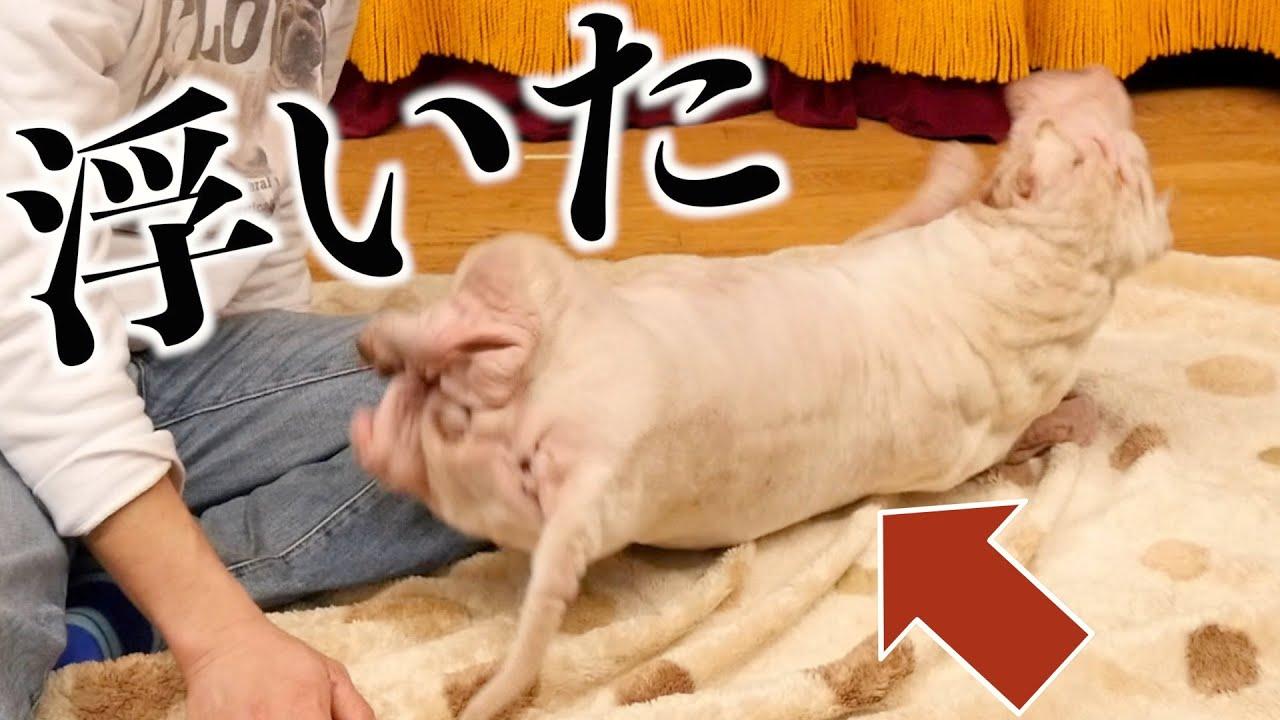 【苦手克服】ブチャ犬もやちゃん、動物病院にいく練習で跳ねる。