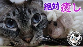 【Jean & Pont 1632】間違いなく癒し効果のある猫動画!ジャンくんとポンちゃんの美しい時間 2019/2/6 #間違いなく #癒し効果 #ジャン #ポン thumbnail