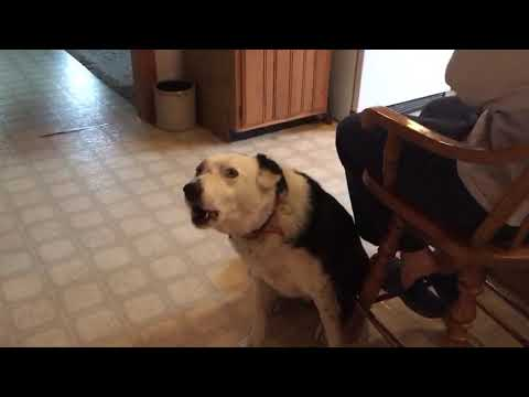 Jaxson the Singing Dog