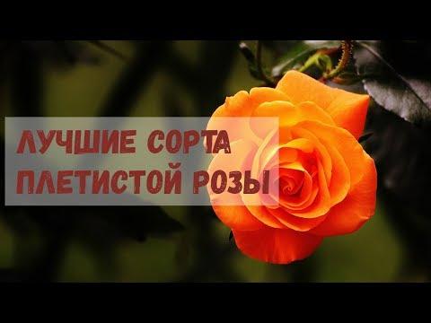 Лучшие сорта плетистых роз, цветущих всё лето