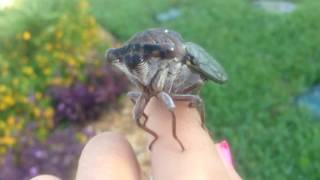 Crazy Cicada Call
