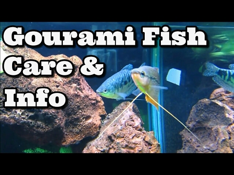 Gourami Fish Care & Information
