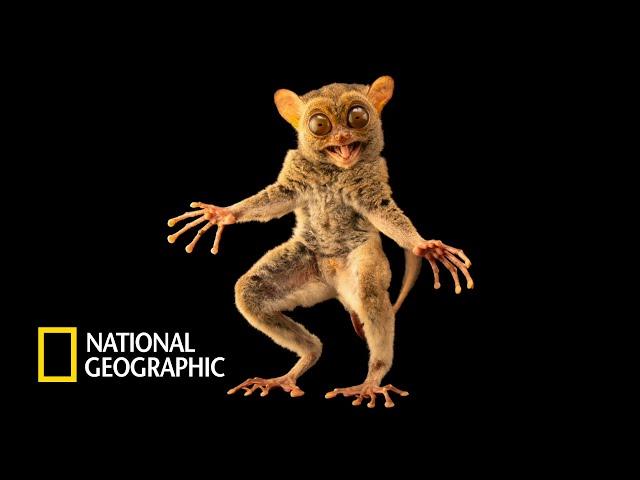 세상에서 가장 귀여운 포식자, 유령안경원숭이