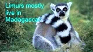 Matthew: Lemur Thumbnail