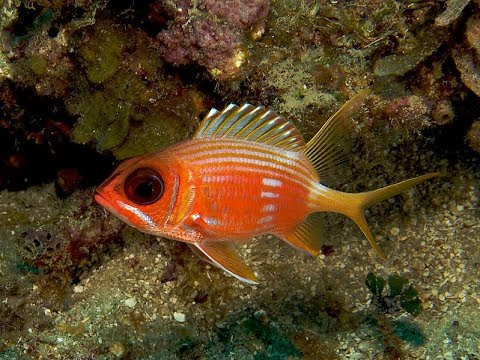 Facts: The Squirrelfish