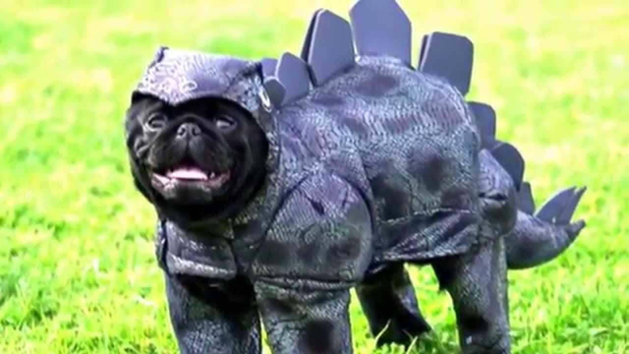 Pug Costume Compilation You