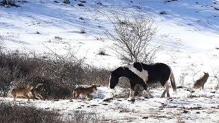 Die Reaktion des hungrigen Wolfsrudels auf das Wildpferd ist unglaublich!
