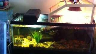 Aquarium Setup For Two Adult Aquatic Turtles (res & False Map Turtles)