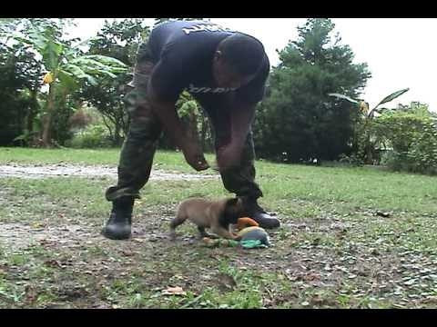 First step 2 teaching a puppy basic protection work@ 4 weeks