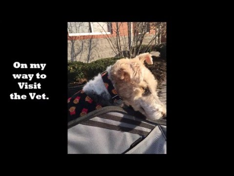 A VISIT TO THE VET WITH FELIX THE WIRE FOX TERRIER
