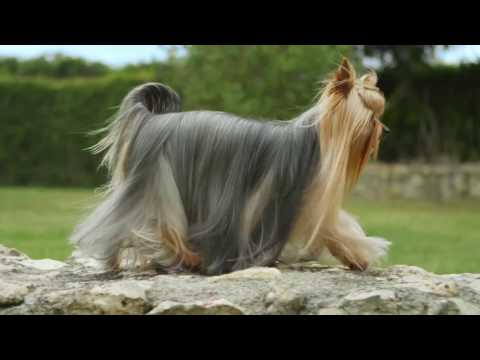 The Yorkshire Terrier | Royal Canin Breed Health Nutrition Wet