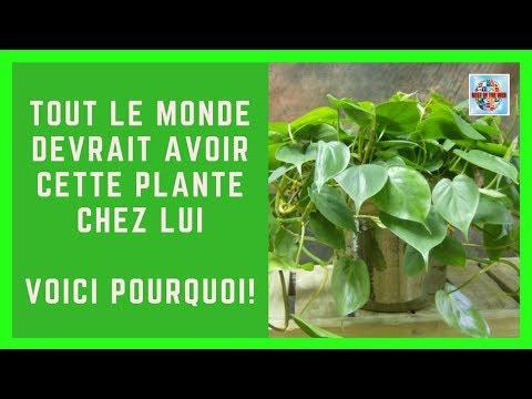 Tout le monde devrait avoir cette plante chez lui... Voici pourquoi !