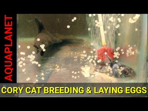 CORY CAT FISH BREEDING AND LAYING EGGS