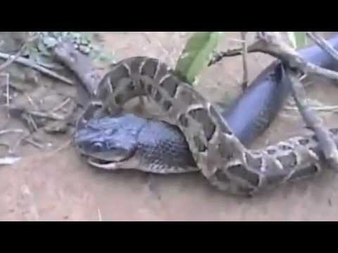 King Cobra vs Python-One gets eaten !!