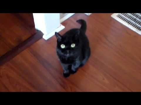 "Rachel the bombay cat and ""buddy"" September 12 2017"