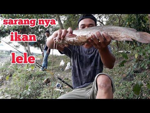 Mancing ikan lele/ menggunakan umpan jangkrik,hasil nya bikin ketagihan