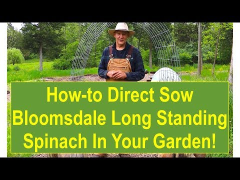 How-to Direct Sow Bloomsdale Long Standing Spinach in Your Garden
