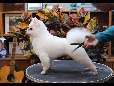 윤형석애견미용원 James' Dog grooming Salon Japanese Spitz