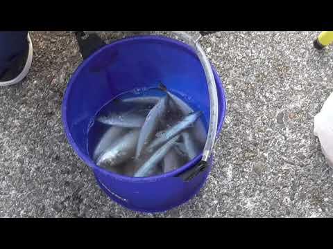 サビキ仕掛けで今日はたくさん釣れているアジ