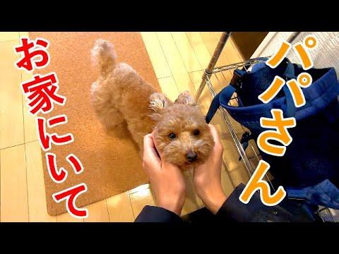 パパが仕事に行こうとすると絶望的に悲しい顔をする犬が可愛いw【トイプードル】