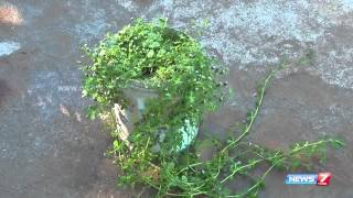 Poduthalai  - used to remove dandruff | plant @ at your garden | Poovali | News7 Tamil