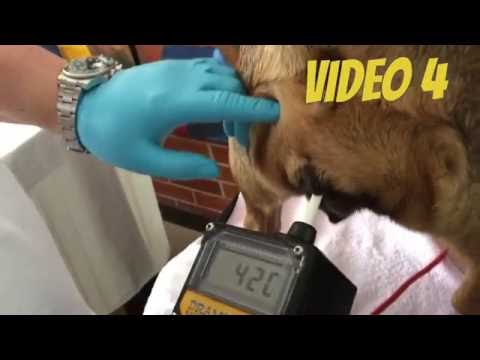Video 4 Comparing Draminsky dog ovulation detector-Vaginal Cytology-Canine Progesterone