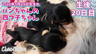 2021年5月29日生まれ・パンちゃんの四つ子ちゃん(生後20日目)【ヨークシャーテリア専門犬舎チャオカーネ】