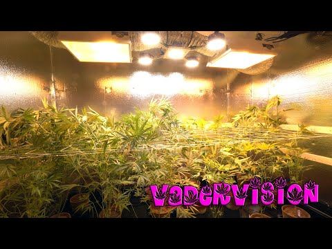 OG LAB - Second Week of Flower for Hawaiian Strain Testing - Week 10 from YouTube · Duration:  8 minutes 15 seconds