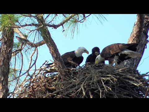 SWFL Eagles_ Early Morning Fish~Sticks~Grasses For 50 Day Old E9 02-19-17