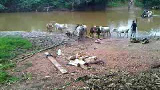 Cattle by Birim River Oda: An innocent walk to the river took me to Africa.