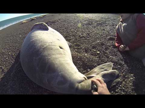 Acariciando a un elefante marino en libertad - Patagonia Argentina.Cherished seal elephant