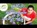 දිනපතා මල් පිපෙන්න මානෙල්, ඔලු මෙහෙම හදන්න - How to perfectly grow water lily in Sinhala