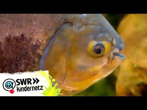 Piranhas bei OLIs Wilde Welt | Kindernetz