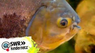 Piranhas bei OLIs Wilde Welt | SWR Kindernetz