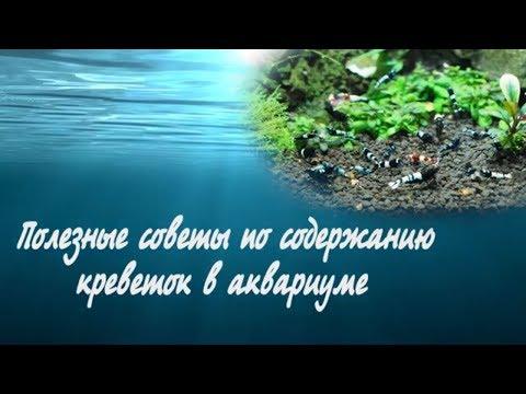 Полезные советы по содержанию креветок в аквариуме