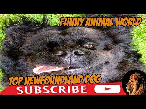 top #1 Funniest Newfoundland Videos #funnyanimalworld