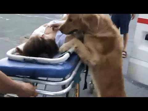 Loyal Golden Retriever Refuses To Leave Owner And Rides Ambulance