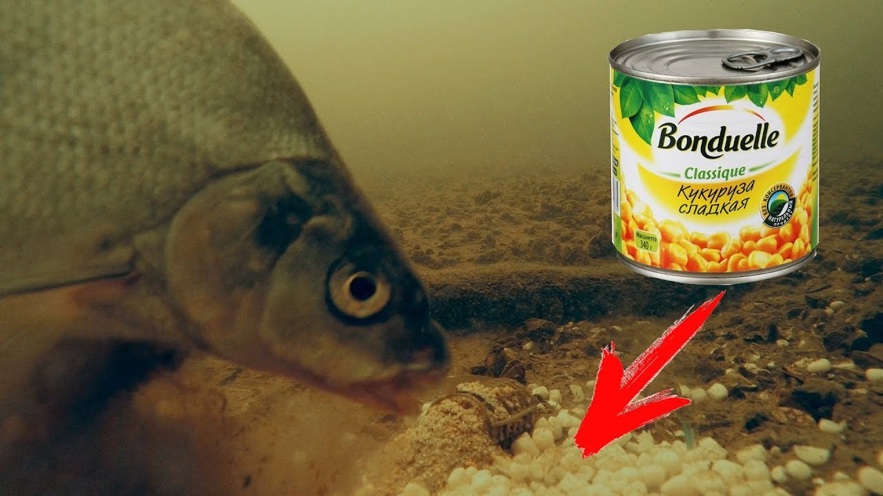 Реакция рыбы на КУКУРУЗУ Подводная съёмка ЛЕЩ