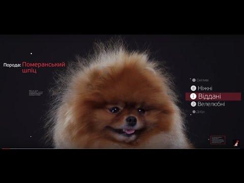 Померанский Шпиц ➠ Узнайте все о породе собаки