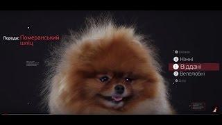 Померанский Шпиц ➠ Узнайте все о породе собаки(Понравилось видео?! Оставляйте отзывы и пишите комментарии! Собаки породы померанский шпиц жизнерадостные..., 2015-11-30T15:45:10.000Z)