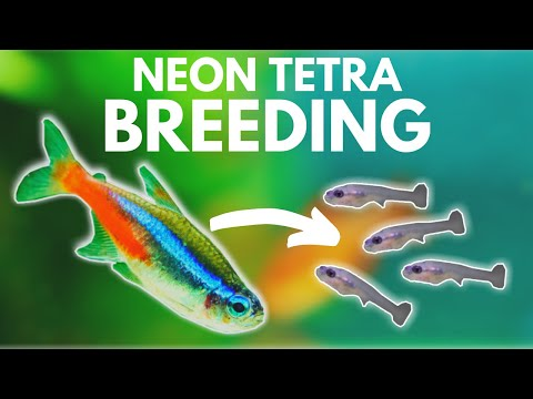 How To Breed Neon Tetras (Divider Method)