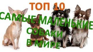 Топ 10 маленьких собак # маленькие породы собак!