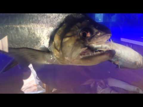 "Monster Feeding Video: 24"" Hydrocyon Armatus/ Payara Eats A 9"" Mackerel!"