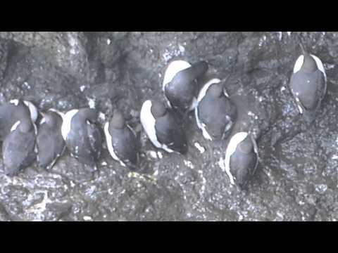 Puffins & Common Guillemots Rathlin Island