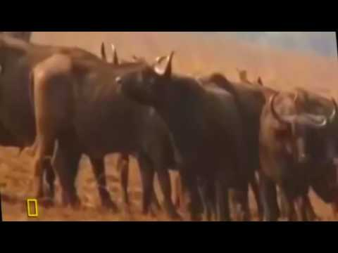 The Attack Of Wildlife - Lions vs Hippo - In The World