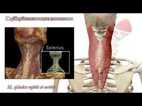 Мышцы спины: функциональная анатомия