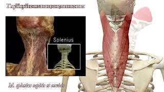 видео Анатомия мышц человека. Что к чему и почему?  [Часть 1, нудно-теоретическая]