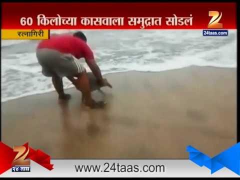 Ratnagiri Turtel Stuck in Fisherman
